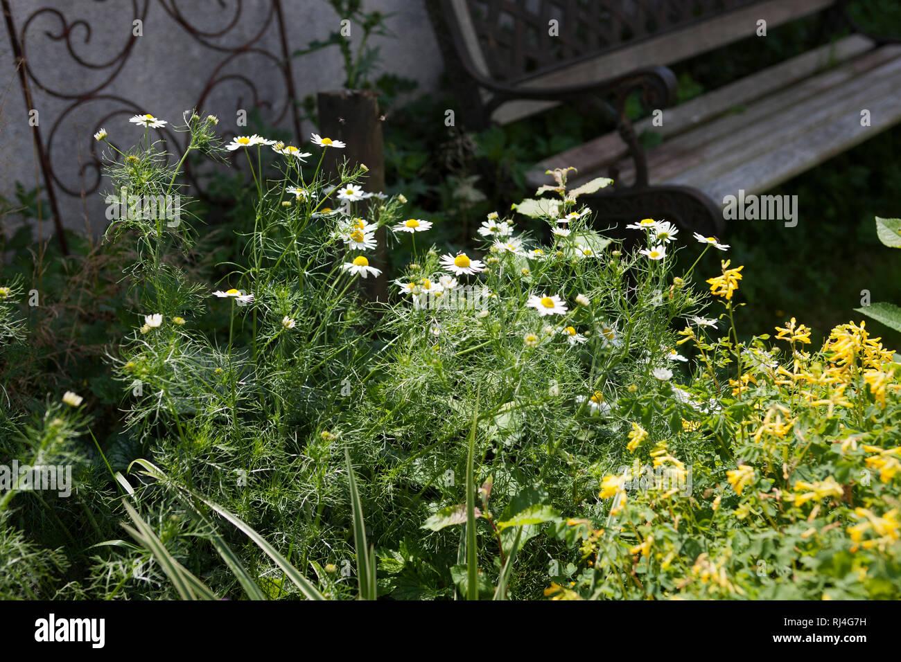 Echte Kamille (Matricaria chamomilla) im Bauerngarten Stock Photo
