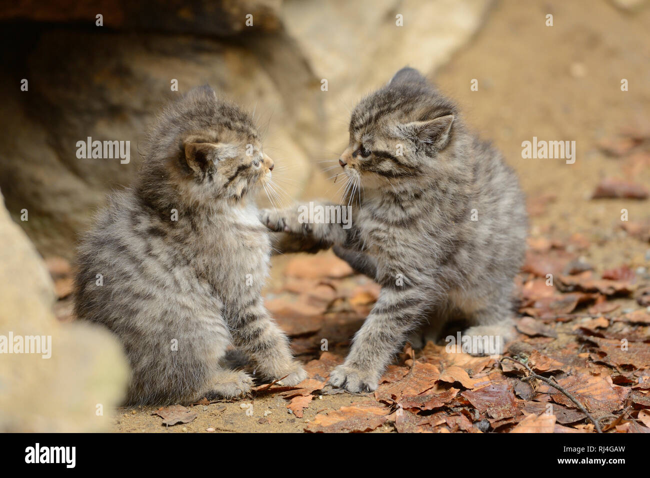 Europ?ische Wildkatzen, Felis silvestris silvestris, Jungtiere, spielen - Stock Image