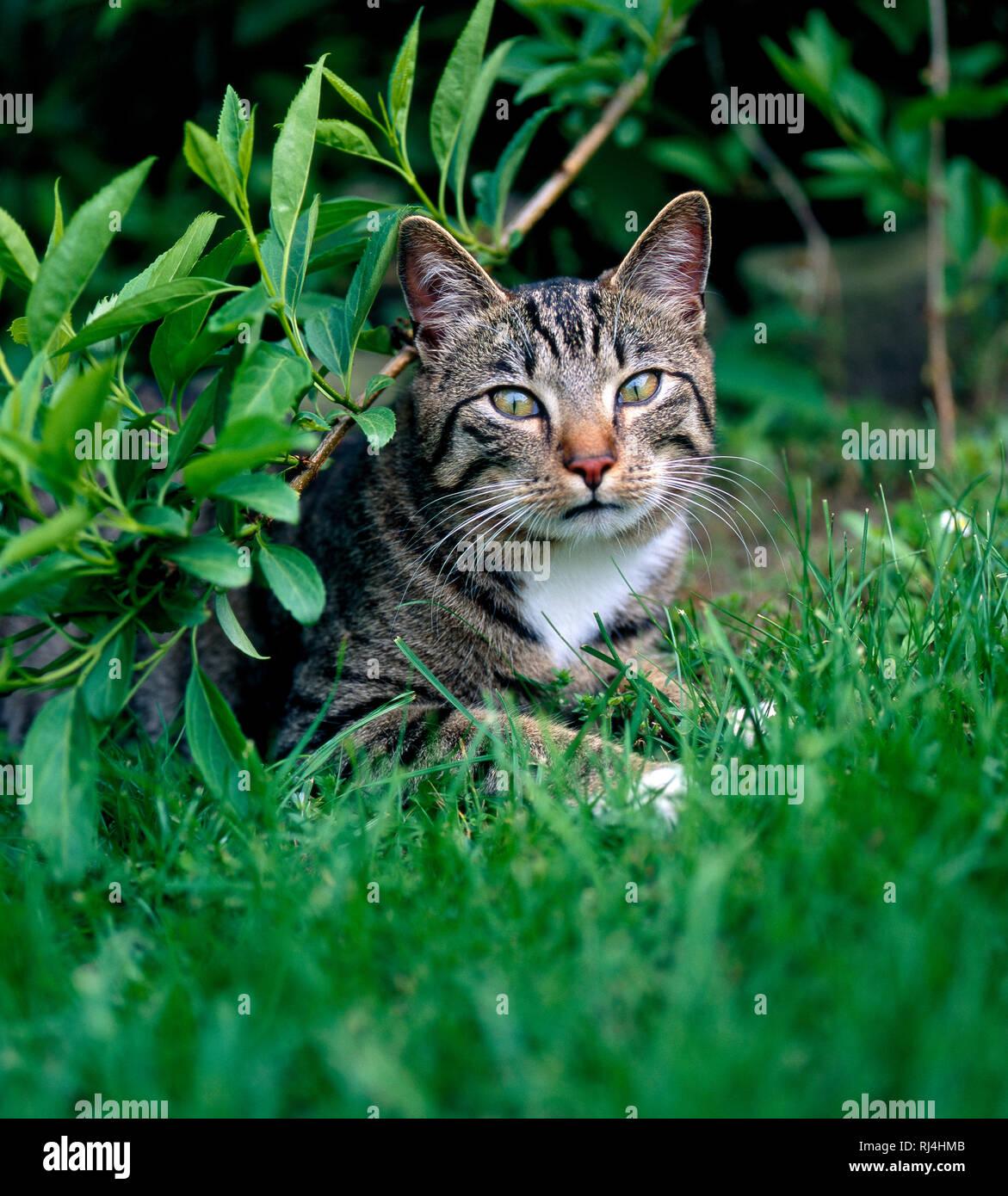 Hauskatze, getigert, lauert unter Busch, im Garten - Stock Image