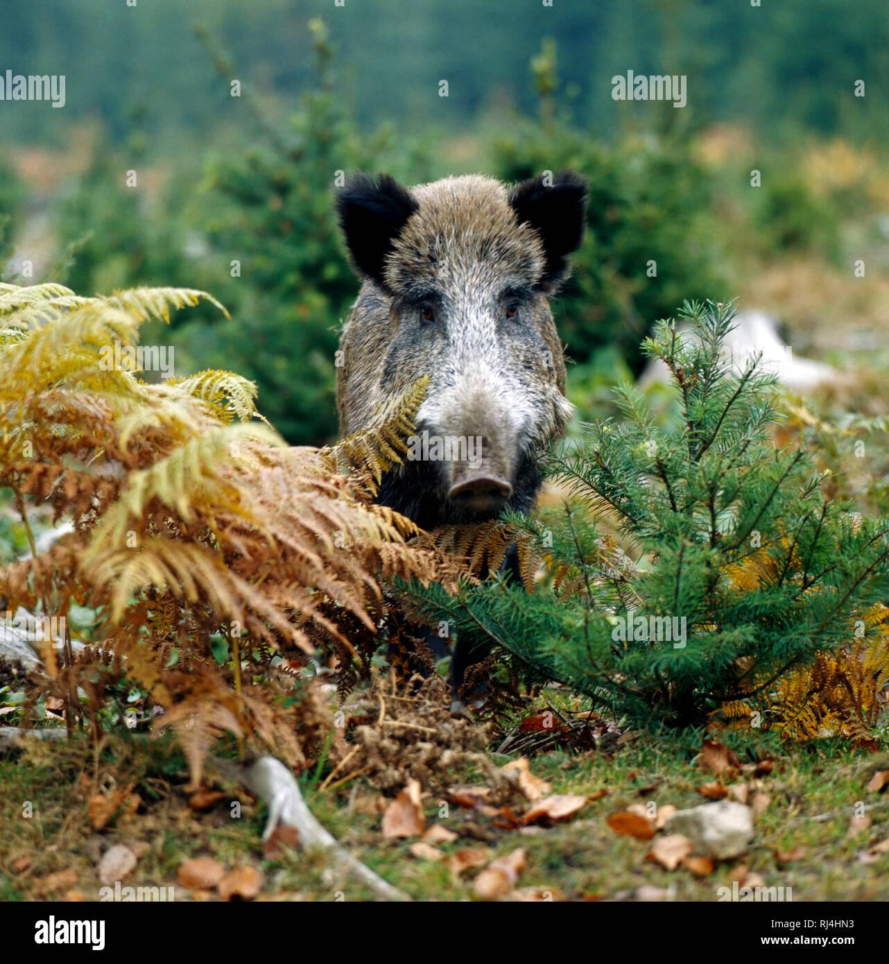 Wildschwein im Unterholz hinter vertrockneten Farnwedeln - Stock Image