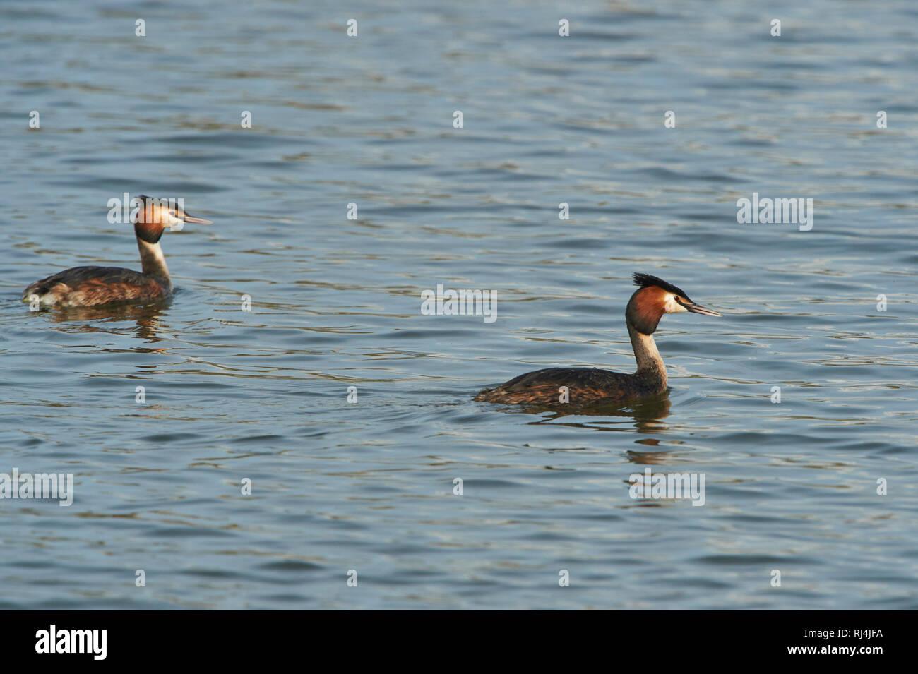 Haubentaucher, Podiceps cristatus, Paar, Wasser, schwimmen - Stock Image