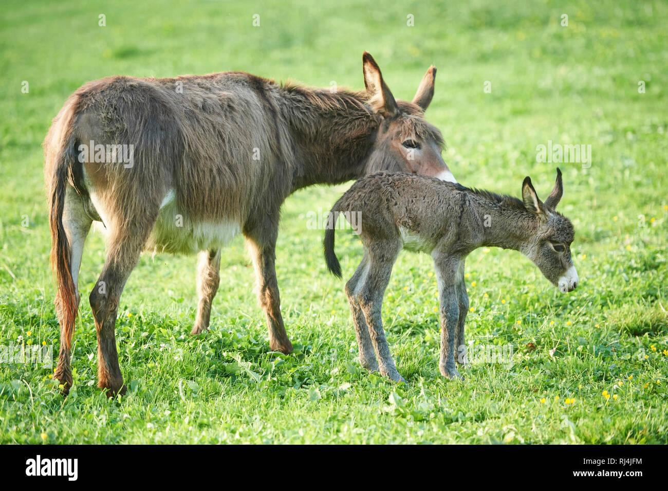 Hausesel, Equus asinus asinus, Stute, Fohlen, Wiese, seitlich, stehen Stock Photo
