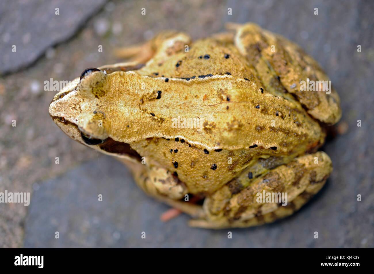Grasfrosch, Rana temporaria, - Stock Image