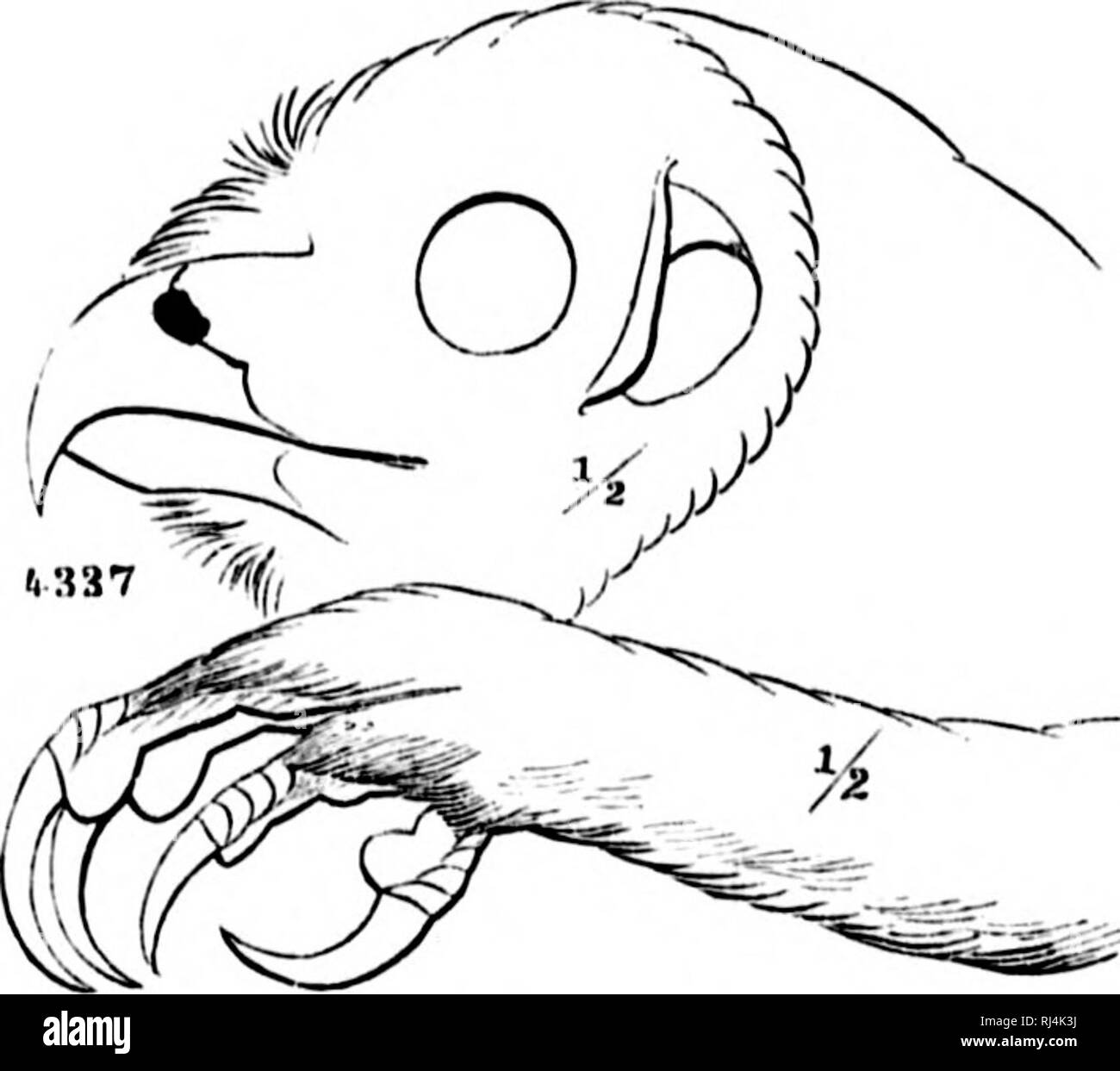 ". A history of North American birds [microform] : land birds. Birds; Ornithology; Oiseaux; Ornithologie. Syrniinn iiibiilostim. GeNI'M SYRNIUM, SAVIfJNY. Si/niiioii, Savionv, iVut. Hist. KKypt, I, 112; isno. (Tyi>p, . i,.f nhico, I"") SivtiKjilij; SwAiNN,, Cliissir. IS. II, 1837, 1>. 21tt. (Type, Strix ciiterra, (i.MKi,.) ? Ciivalid, Wa(ii,. Isis, 1.S31. (Tvpc, SIriv hithuh, Dauii.) 1 J'idsiili-ii; Kaii', 184!I. {SirU loi-ijiiiilds, Daiii.) fiKN. CiiAii. Size varyiiif,' I'roin iiir(liiiiii to vciy liir^c. No cnr-tu(ts. Head very Inrjrp, the cyoH uoiiipanitivi'ly sniall. Four to six oiitc - Stock Image"