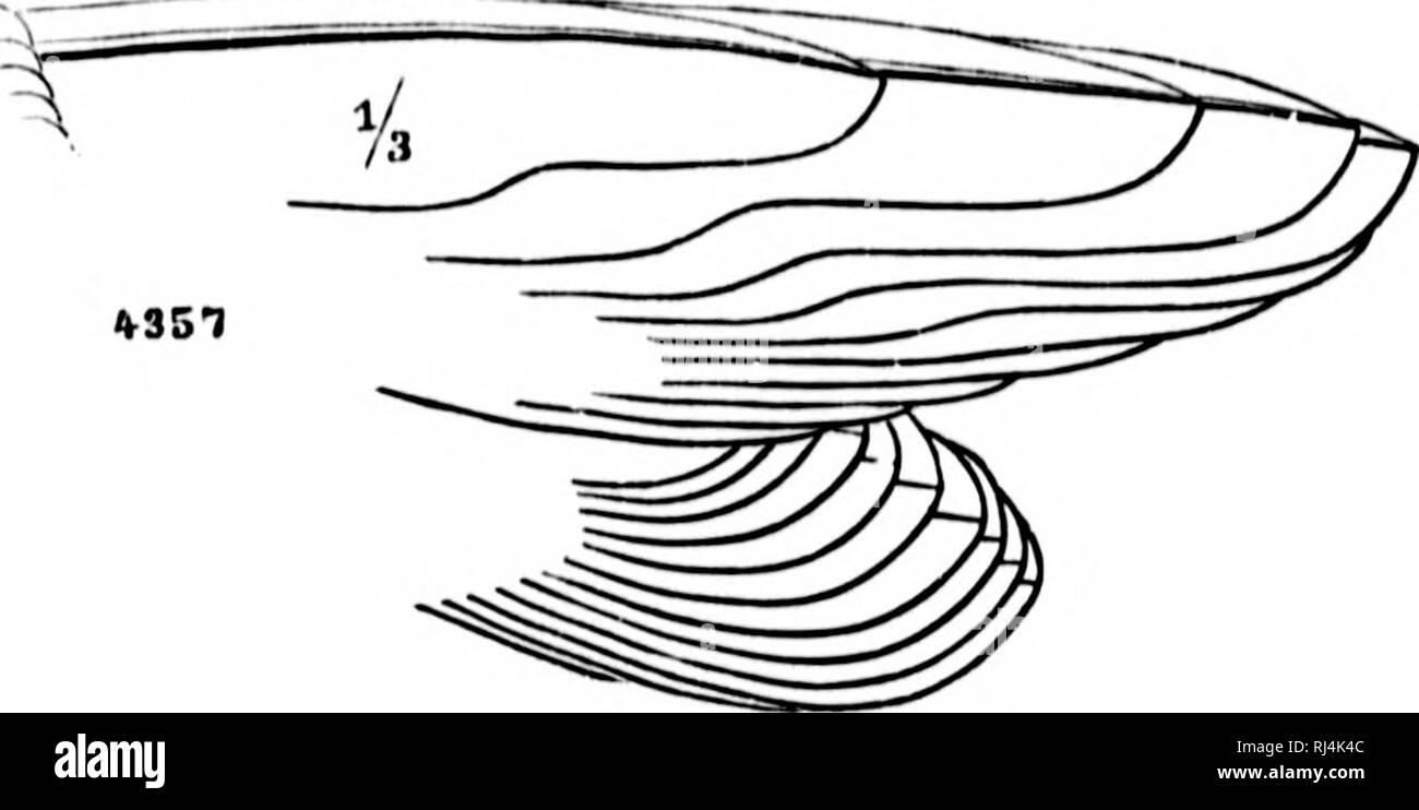 ". A history of North American birds [microform] : land birds. Birds; Ornithology; Oiseaux; Ornithologie. 28 NDIH'II AMEIUCAN lilltDS.. Syrniinn iiibiilostim. GeNI'M SYRNIUM, SAVIfJNY. Si/niiioii, Savionv, iVut. Hist. KKypt, I, 112; isno. (Tyi>p, . i,.f nhico, I"") SivtiKjilij; SwAiNN,, Cliissir. IS. II, 1837, 1>. 21tt. (Type, Strix ciiterra, (i.MKi,.) ? Ciivalid, Wa(ii,. Isis, 1.S31. (Tvpc, SIriv hithuh, Dauii.) 1 J'idsiili-ii; Kaii', 184!I. {SirU loi-ijiiiilds, Daiii.) fiKN. CiiAii. Size varyiiif,' I'roin iiir(liiiiii to vciy liir^c. No cnr-tu(ts. Head very Inrjrp, the cyoH uoiiipanitiv - Stock Image"