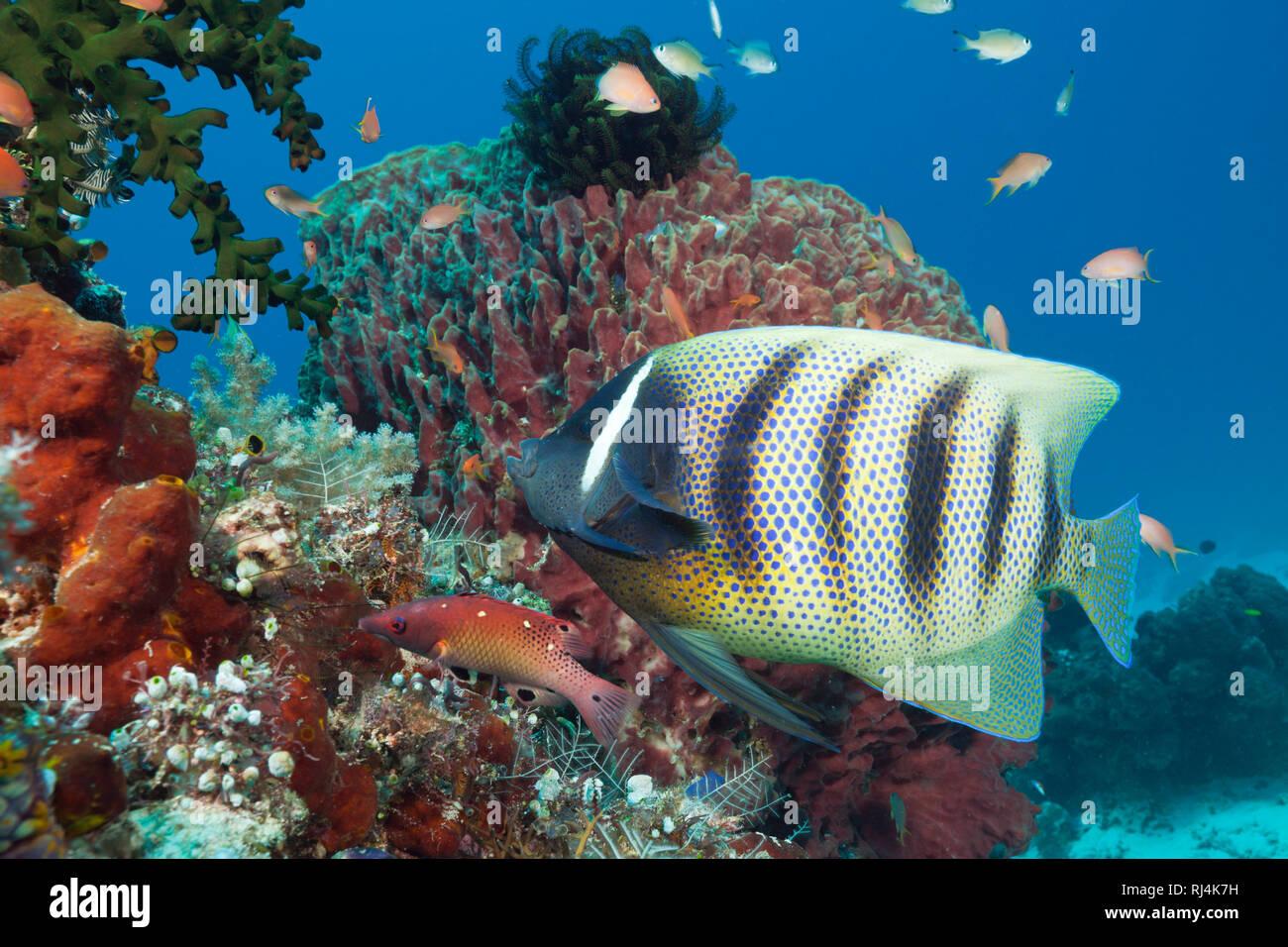 Sechsbinden-Kaiserfisch, Pomacanthus sexstriatus, Komodo Nationalpark, Indonesien - Stock Image