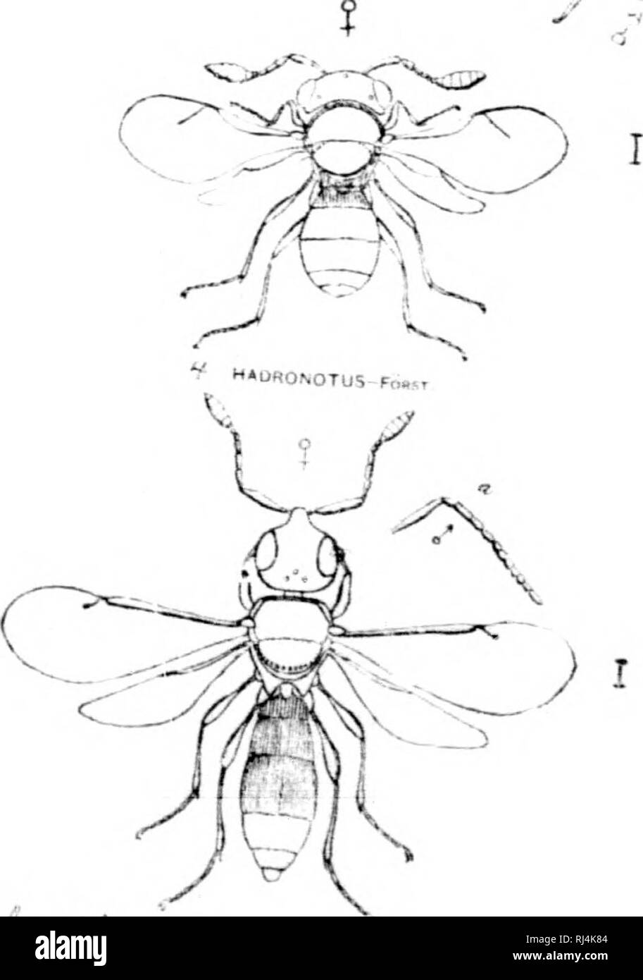 """. A monograph of the North American Proctotrypidae [microform]. Hymenoptera; Hyménoptères. k i^^ MB^ ^^-^ /^ SPAftASiOr^-ji, 'zaxN Toa-€U3 Af-^t. /'^""""^'a^--.-. Please note that these images are extracted from scanned page images that may have been digitally enhanced for readability - coloration and appearance of these illustrations may not perfectly resemble the original work.. Ashmead, William H. (William Harris), 1855-1908. Washington : G. P. O. - Stock Image"""