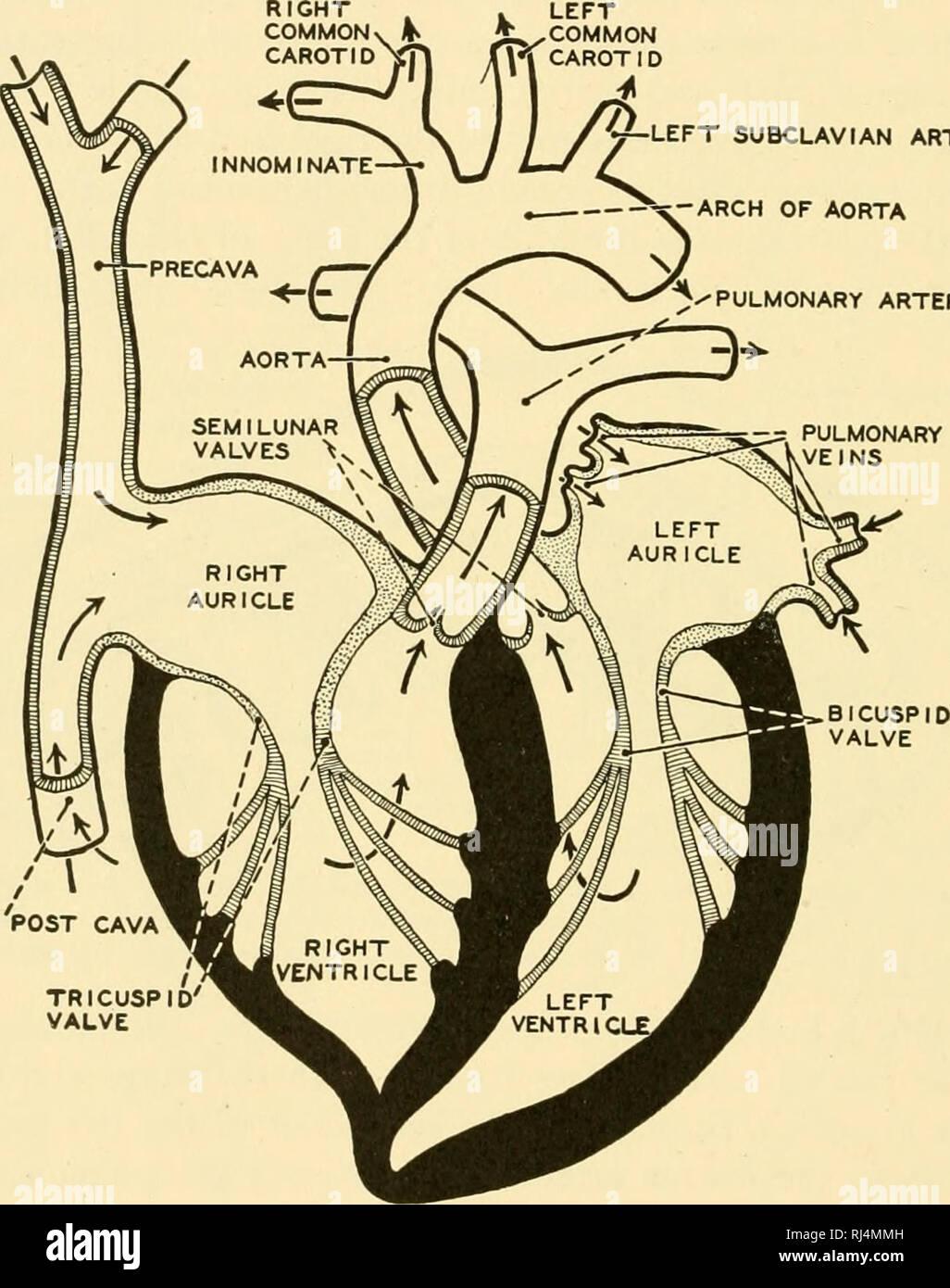 Chordate Anatomy Chordata Anatomy Comparative 284 Chordate