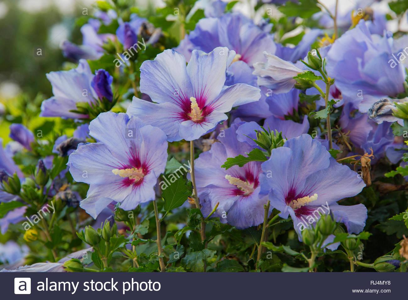 Blauer Hibiskus, Roseneibisch, Blüten - Stock Image