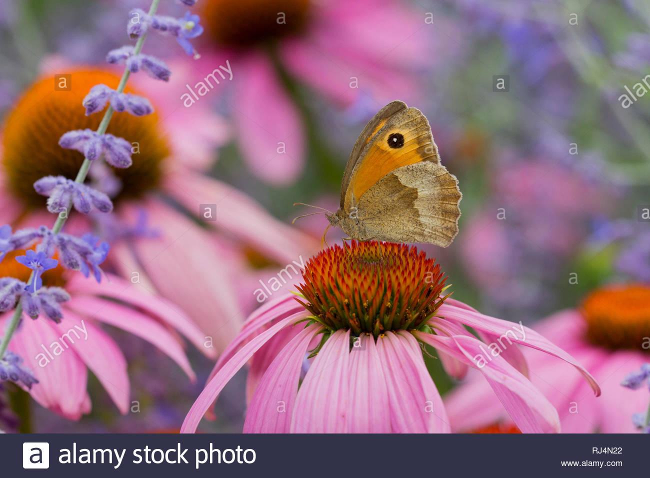 Großes Ochsenauge, Maniola jurtina, auf Rudbeckia-Blüten - Stock Image
