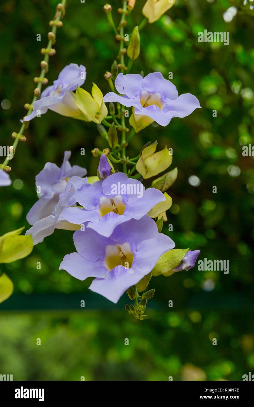 Tropische Pflanze Fausto, Restaurant Paladar La Pimienta, Cueva del Indio, Vinales Tal, Provinz Pinar del Rio, Kuba, Republik Kuba, Große Antillen, Ka - Stock Image