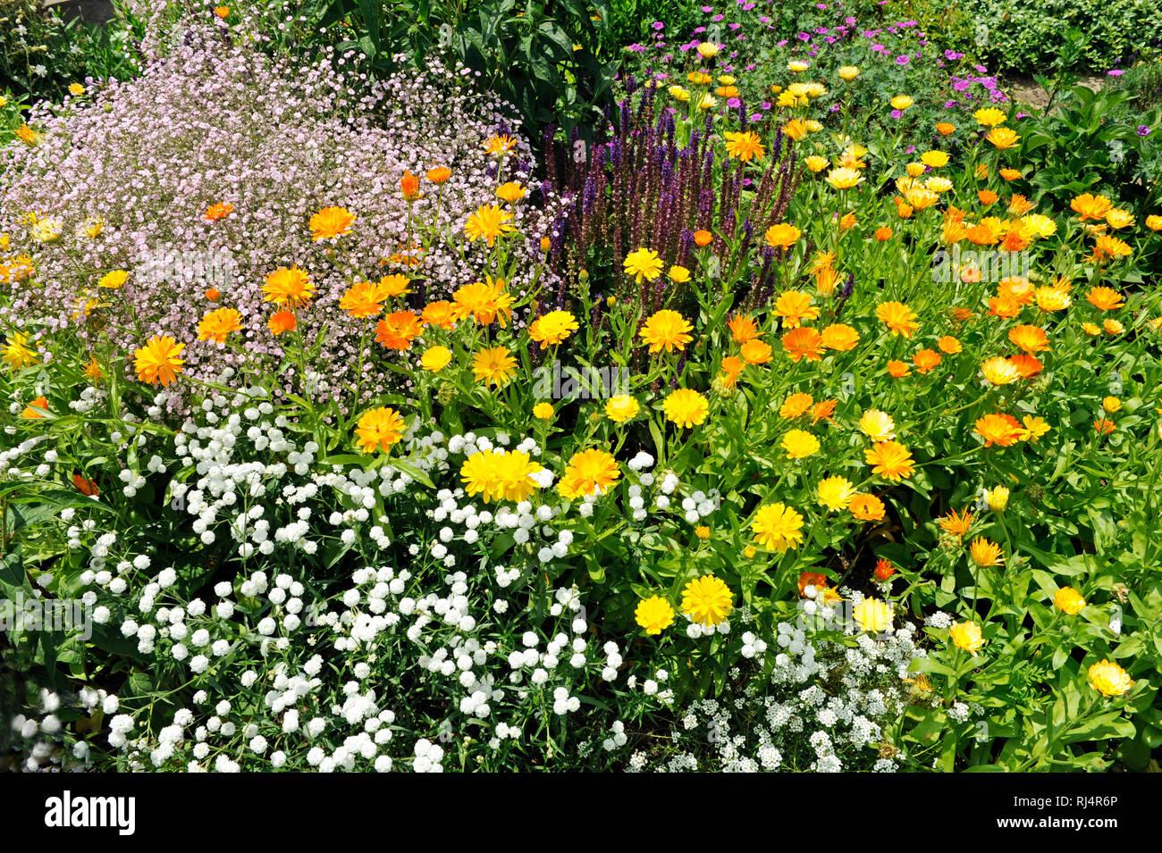 Bunte Sommerblumen diverser Sorten bl?hen im Bauerngarten, - Stock Image