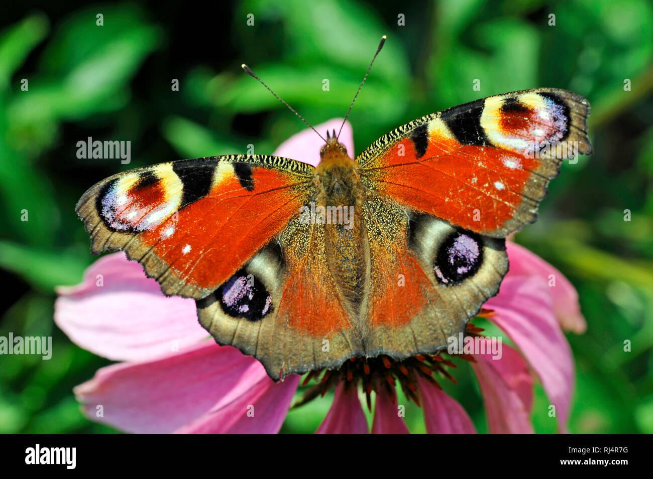 Schmetterling, Tagpfauenauge, Bl?te, - Stock Image