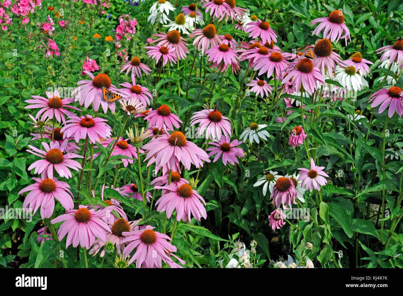 Purpursonnenhut im sommerlichen Bauerngarten, - Stock Image