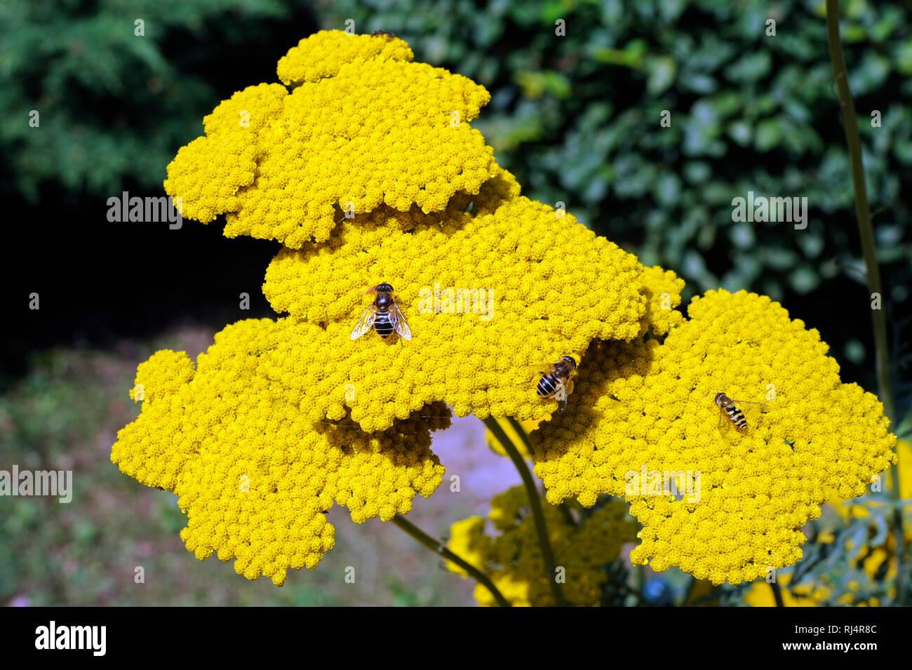 Gelbe Schirmrispen der Achillea, auch Garbe oder Schafgarbe, Insekten, - Stock Image