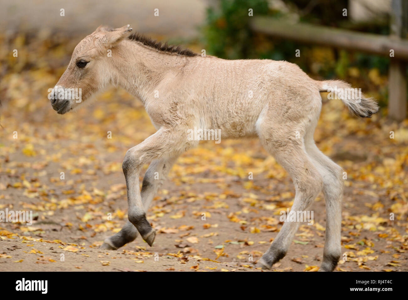 Przewalski-Pferd, Equus ferus przewalskii, Fohlen, seitlich, rennen - Stock Image