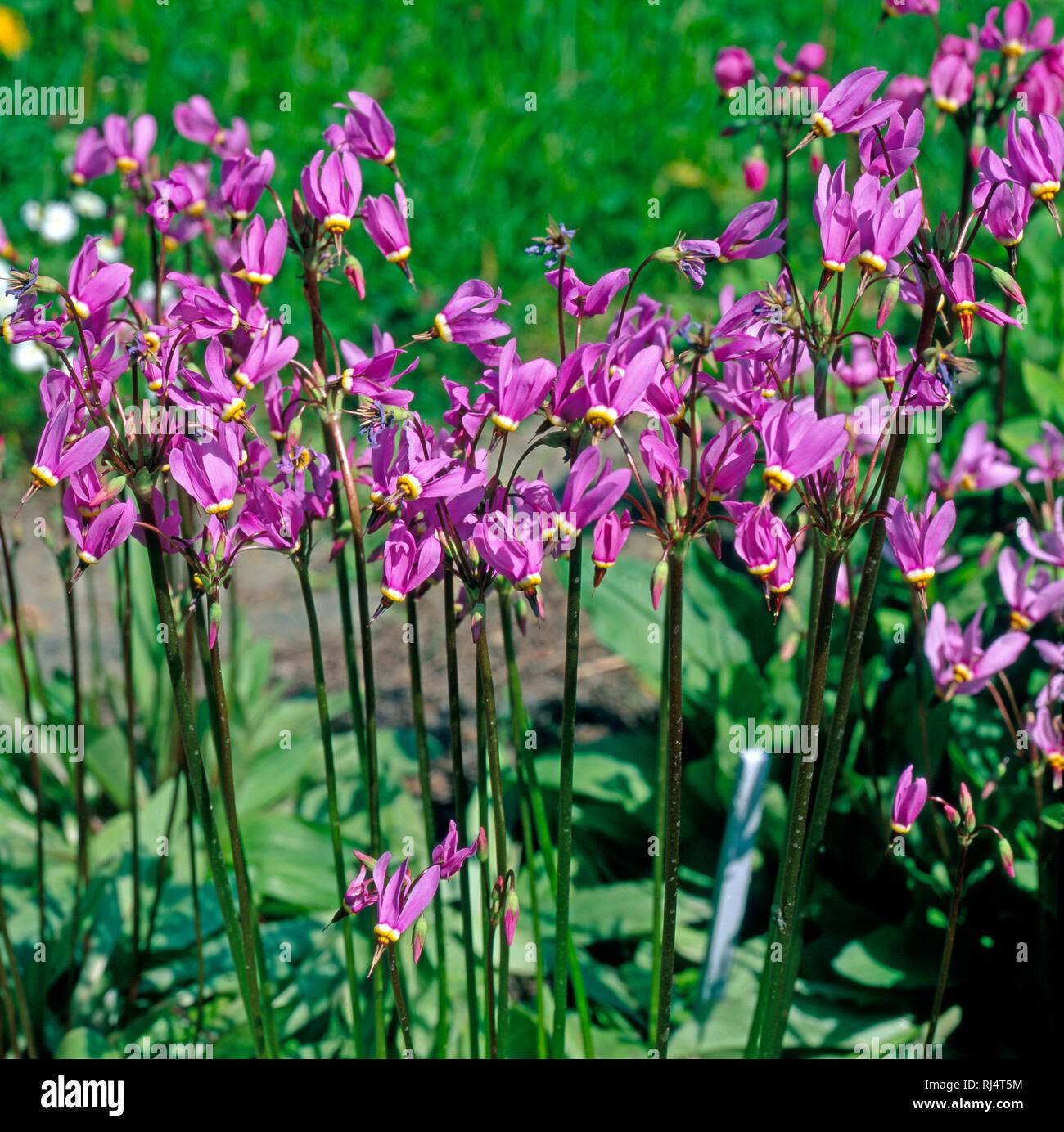 G?tterblumen aus Nordwestamerika im Gartenbeet - Stock Image