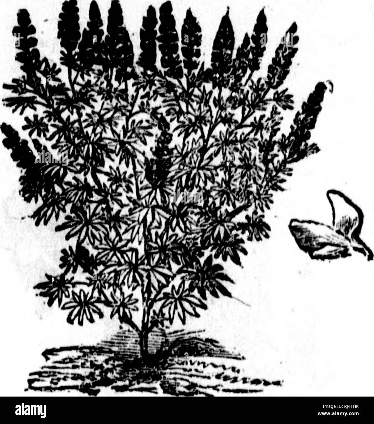 . Le verger, le potager et le parterre dans la province de Québec ou Culture raisonnée des fruits, légumes et fleurs qui peuvent réussir sous le climat de Québec [microforme]. Horticulture fruitière; Horticulture potagère; Fleurs; Fruit-culture; Vegetable gardening; Flowers. ANNUELLES RUSTmUES. 241 plus ounnoîns cotonneuseg, sont surtout recliorchéea pour les luagnifiqtie» épis de fleurs qu'elles présentent.. :â¢â¢ Fig. 81. Lupin alllé| bleu, blanc et pourpre, joli et gracieux ;  p. â blanC-rOUgeâtre, d'un rose rouge jusqu'à la moitié do l'épi, et de U jusqu'à l'extrémité bl Stock Photo