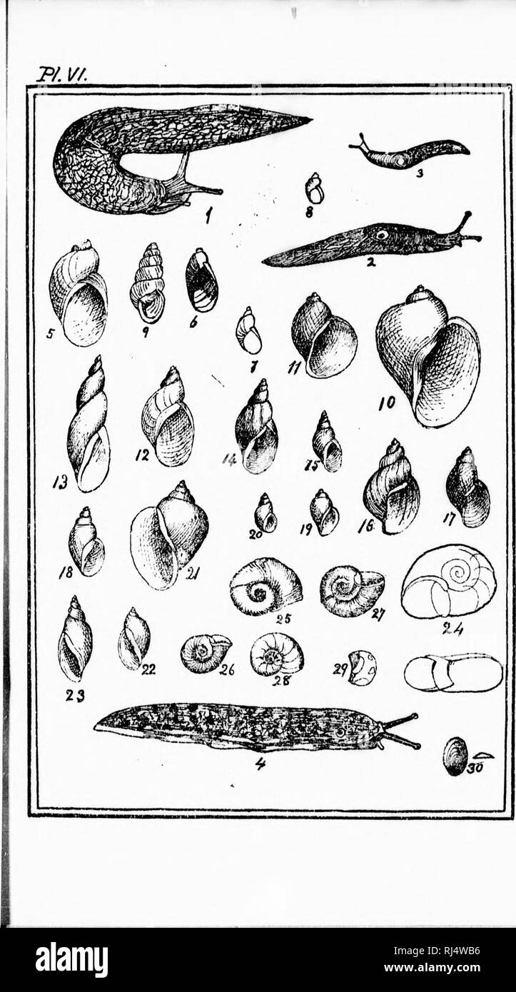 """. Les mollusques de la province de Québec [microforme] : première partie, les céphalopodes, ptéropodes et gastropodes. Mollusques; Céphalopodes; Mollusks; Cephalopoda. P.ajiP. 1 :!;^ 188 184 185 1 8.-, 18"""") 18(; 187 ] ;;;) MO 140 141 141 142 142 148 148 144 144 n5 145 I4(; 147 147 I4-! IIS 14H 14!) 149. Please note that these images are extracted from scanned page images that may have been digitally enhanced for readability - coloration and appearance of these illustrations may not perfectly resemble the original work.. Provancher, L. , 1820-1892. [Québec? : s. n. ] - Stock Image"""