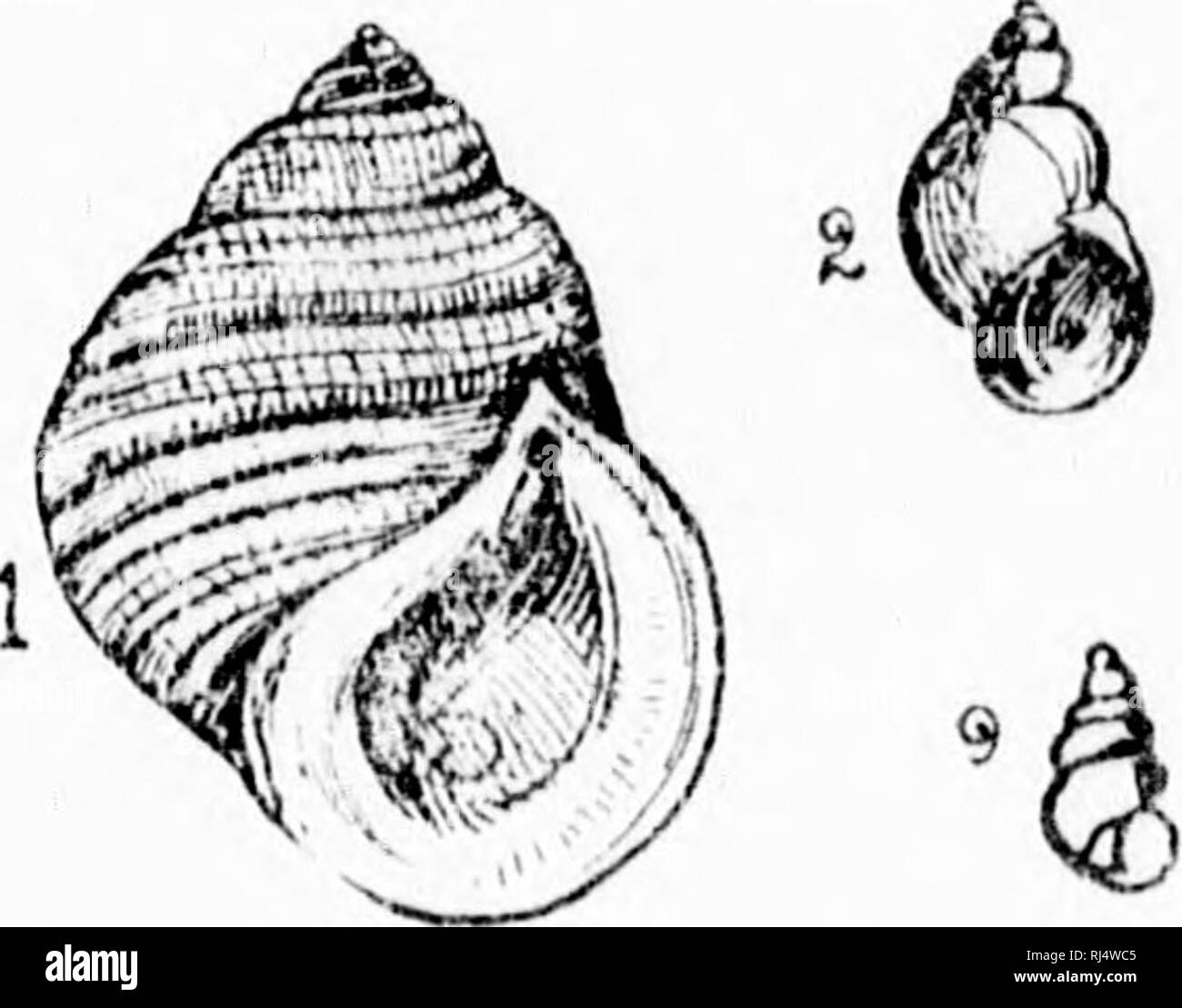 . Les mollusques de la province de Québec [microforme] : première partie, les céphalopodes, ptéropodes et gastropodes. Mollusques; Céphalopodes; Mollusks; Cephalopoda. PL. ^V. Please note that these images are extracted from scanned page images that may have been digitally enhanced for readability - coloration and appearance of these illustrations may not perfectly resemble the original work.. Provancher, L. , 1820-1892. [Québec? : s. n. ] - Stock Image