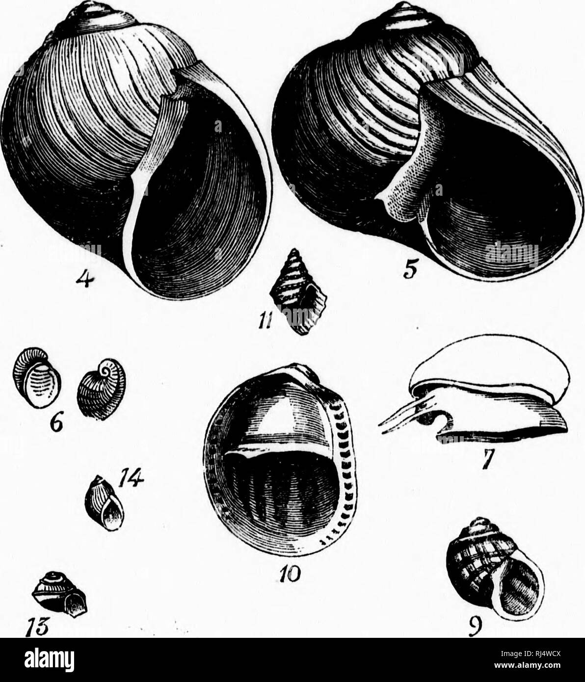 """. Les mollusques de la province de Québec [microforme] : première partie, les céphalopodes, ptéropodes et gastropodes. Mollusques; Céphalopodes; Mollusks; Cephalopoda. PL. m. Page .. 70 . so .. 80 .. 8:! . 84 .. 8f; . HG . 88 .. 88 . 88 . 81) . itO . !""""J . 80. Please note that these images are extracted from scanned page images that may have been digitally enhanced for readability - coloration and appearance of these illustrations may not perfectly resemble the original work.. Provancher, L. , 1820-1892. [Québec? : s. n. ] - Stock Image"""