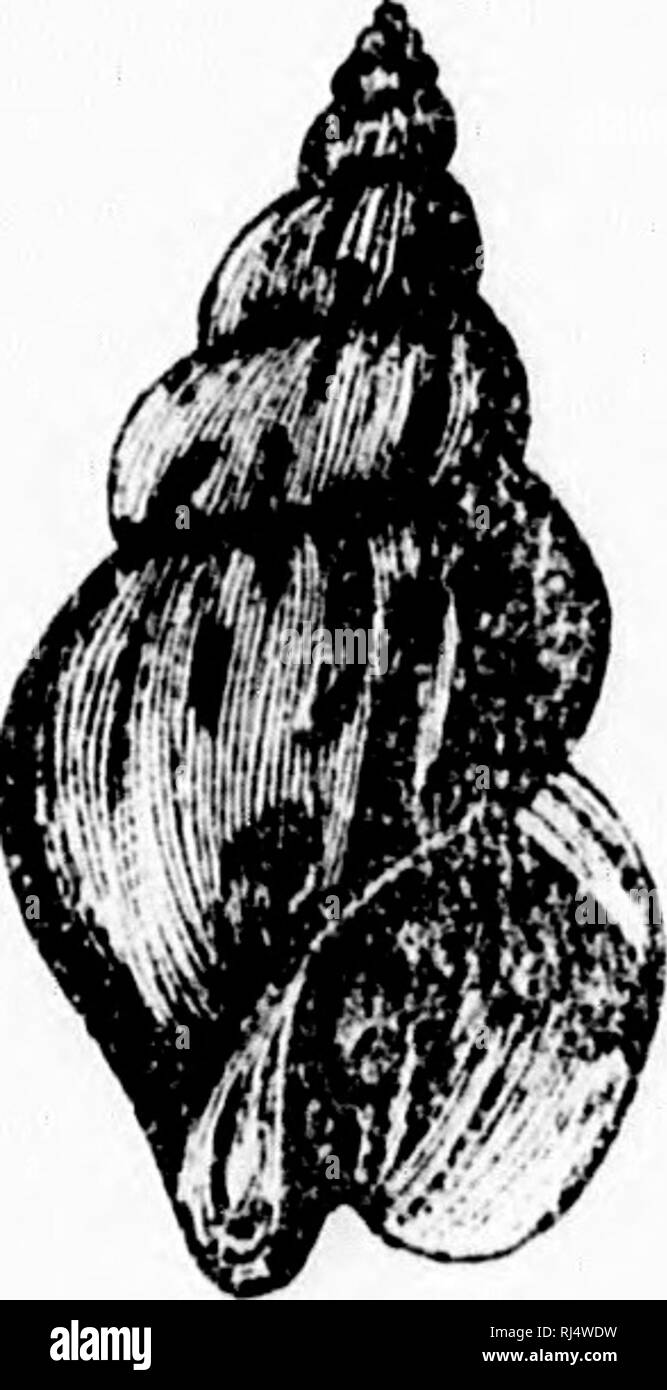 . Les mollusques de la province de Québec [microforme] : première partie, les céphalopodes, ptéropodes et gastropodes. Mollusques; Céphalopodes; Mollusks; Cephalopoda. . Please note that these images are extracted from scanned page images that may have been digitally enhanced for readability - coloration and appearance of these illustrations may not perfectly resemble the original work.. Provancher, L. , 1820-1892. [Québec? : s. n. ] - Stock Image