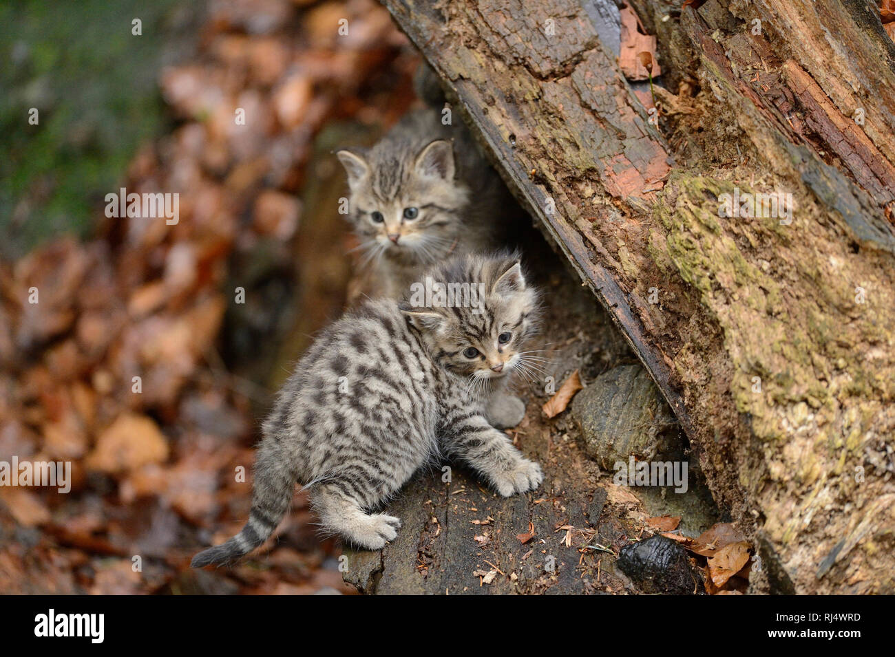 Europ?ische Wildkatzen, Felis silvestris silvestris, Jungtiere, Blick Kamera - Stock Image