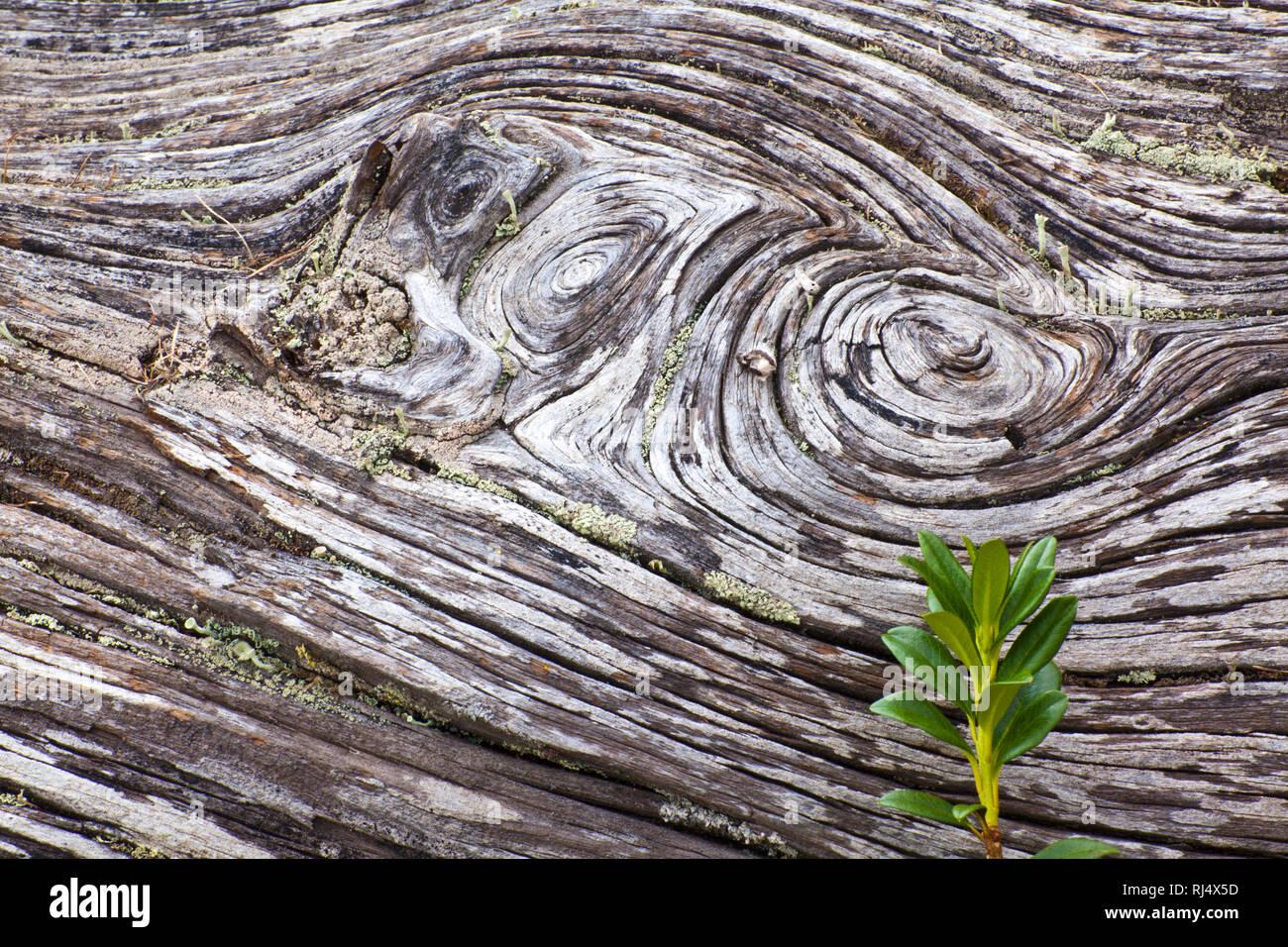 Totholz im Bergwald - Stock Image