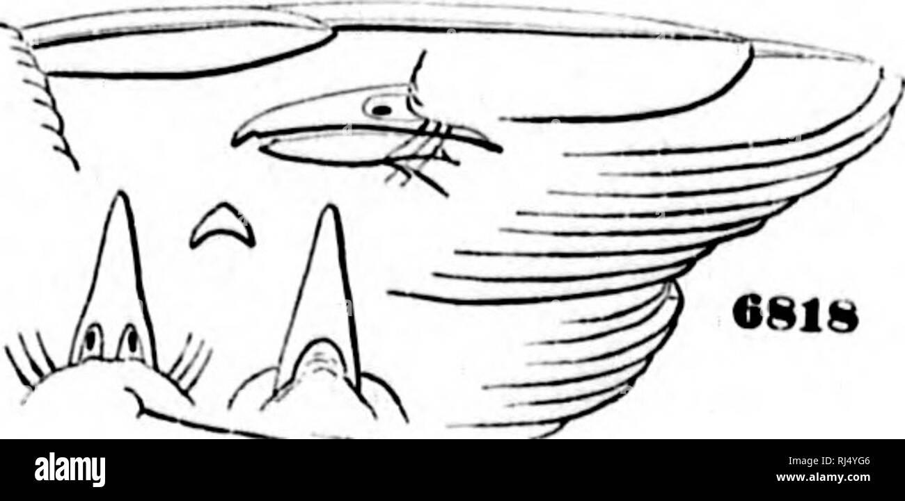 . A history of North American birds [microform] : land birds. Birds; Ornithology; Oiseaux; Ornithologie. VrRKOXID.K-TIIE VIRKoH. 2. V oarmloll- AI,ovo hiownisl. olivo-.n-on. I}oâ..a,l,, with sni-ra-lora stni,.., oH.ital ring, an.l ligl.t .narkings ââ ,1,,. .vings li.|,t ocl.r..y-y,.|lâvv inoro whiti.sl. on the tl>ront. Wing, 2.or>â tail 2 00 ⢠taivsns, .00; bill, .20. //,,/,. câsta Ri.a. ' ' ' 3. V. noveboraoonsls. Alx.vo olivt.-gr,.,,n, a.I,y acros.s tin- nnpc. feuiHa-lo.alstni,e and orl.italnMg,L...|,yellow. Bunoath ashy-wlL on throat, purer white on al.clo.nun; .si.les, an.l a tinge  Stock Photo