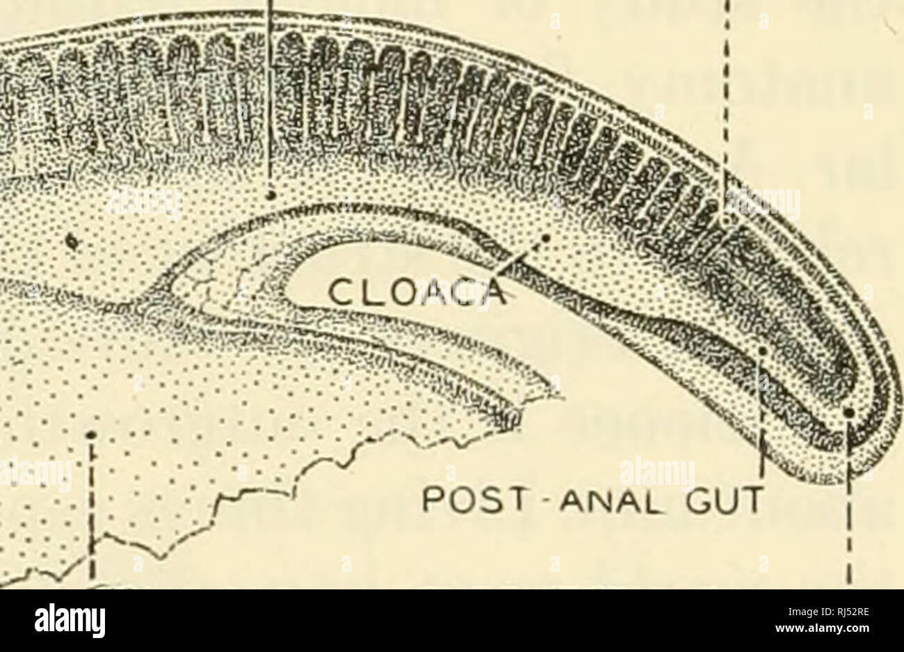 """. The chordates. Chordata. MIDGUT HINDGUJ SOMITE A ', SOMITE I HEART C<- PERICARDIAL CAVITY. NEURENTERIC CANAL' Fig. 5. A 7 mm. Squalus embryo viewed as a cleared specimen from the left side. The yolk-sac has been mostly removed. Two gill-chambers are open. Develop- ing cranial nerves are indicated by Roman numerals. (Courtesy, Neal and Rand: """"Chordate Anatomy,"""" Philadelphia, The Blakiston Company.) theories which have exerted powerful influence on human thought have been derived largely from the relative fullness of our knowledge of the vertebrates. Facts of vertebrate comparativ - Stock Image"""