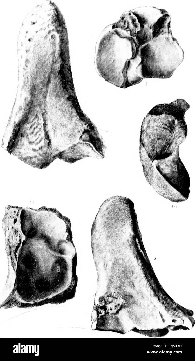 . On vertebrata from the tertiary and cretaceous rocks of the North West Territory. I. The species from the Oligocene or Lower Miocene beds of the Cypress hills [microform]. Paleontology; Paleontology; Paleontology; Paleontology; Vertebrates, Fossil; Paléontologie; Paléontologie; Paléontologie; Paléontologie; Vertébrés fossiles. GEOLOGICAL SURVEY OF CANADA I LATE K. MENODrs. i. Please note that these images are extracted from scanned page images that may have been digitally enhanced for readability - coloration and appearance of these illustrations may not perfectly resemble the original work. - Stock Image