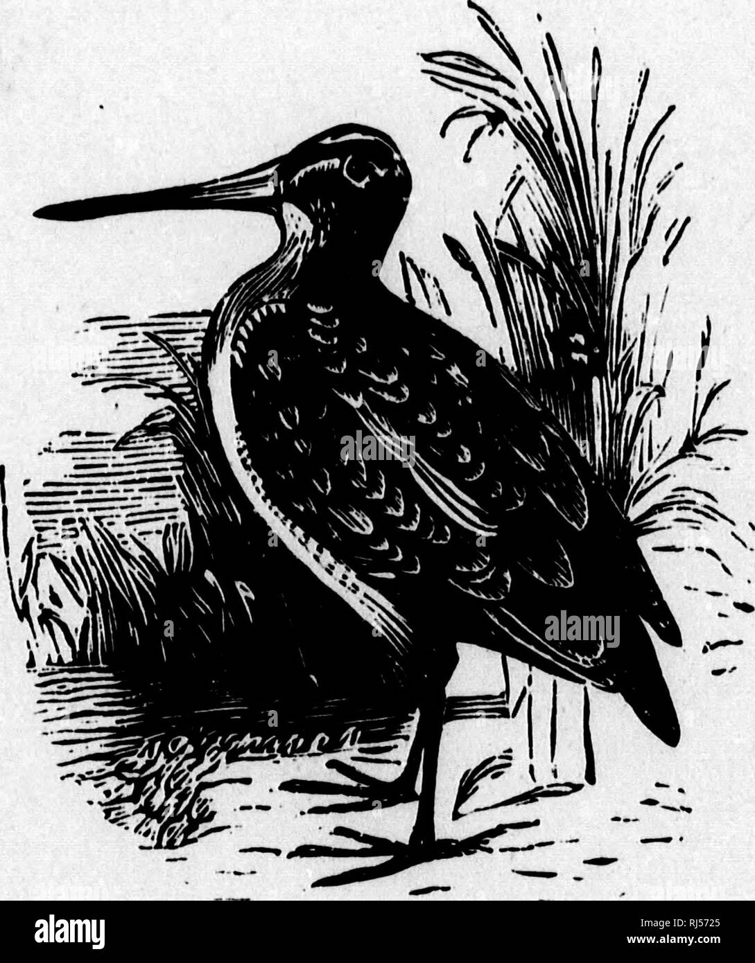 . The birds of Canada [microform] : with descriptions of their habits, food, nests, eggs, times of arrival and departure. Birds; Ornithology; Oiseaux; Ornithologie. '^. WILSON'S SNIPE. p. 8l. Please note that these images are extracted from scanned page images that may have been digitally enhanced for readability - coloration and appearance of these illustrations may not perfectly resemble the original work.. Ross, Alexander Milton, 1832-1897. Toronto : H. Rowsell Stock Photo
