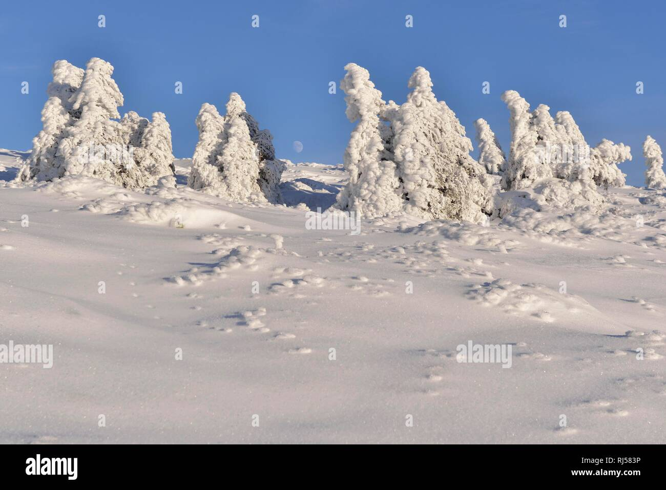 Snow-covered spruces on the Brocken, Harz National Park, Saxony-Anhalt, Germany - Stock Image
