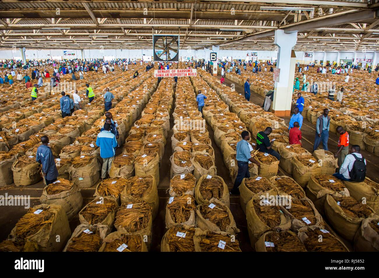 Local workers between huge bags with dried tobacco leaves in a hall on a Tobacco auction, Lilongwe, MalawiTobacco auction - Stock Image
