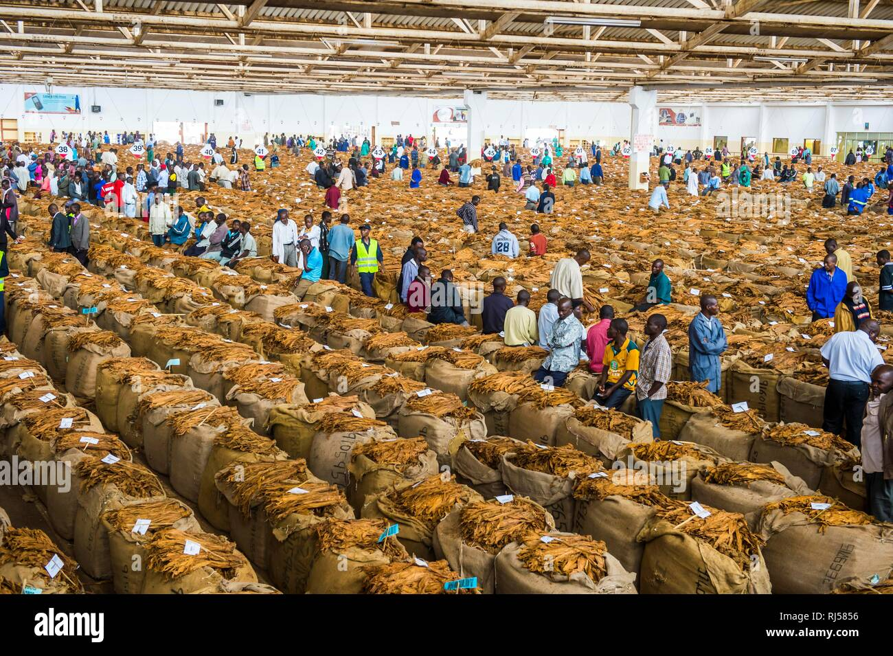 Local workers between huge bags with dried tobacco leaves in a hall on a Tobacco auction, Lilongwe, Malawi - Stock Image
