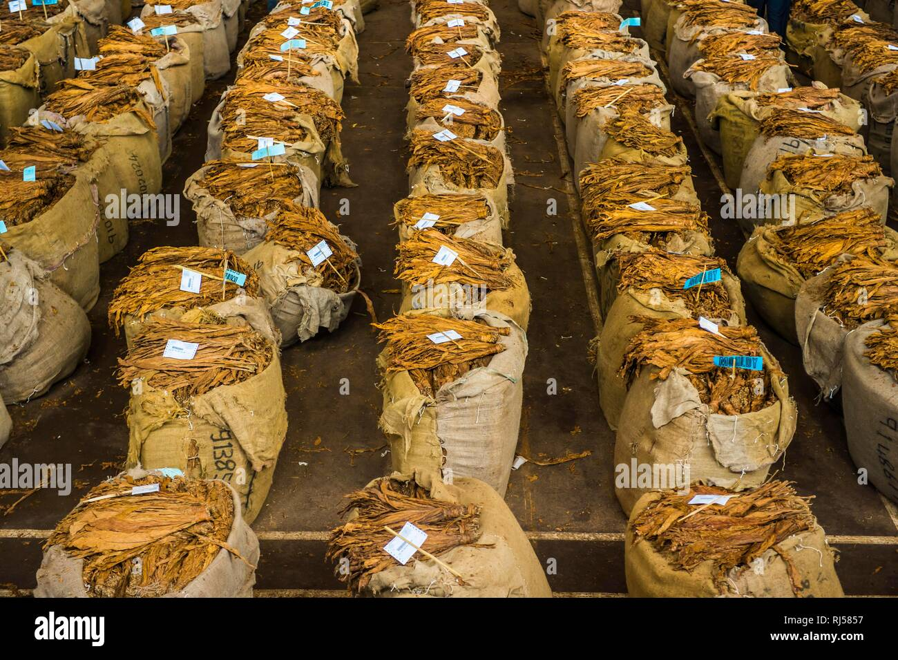 Huge bags of dried tobacco, Tobacco auction, Lilongwe, Malawi - Stock Image