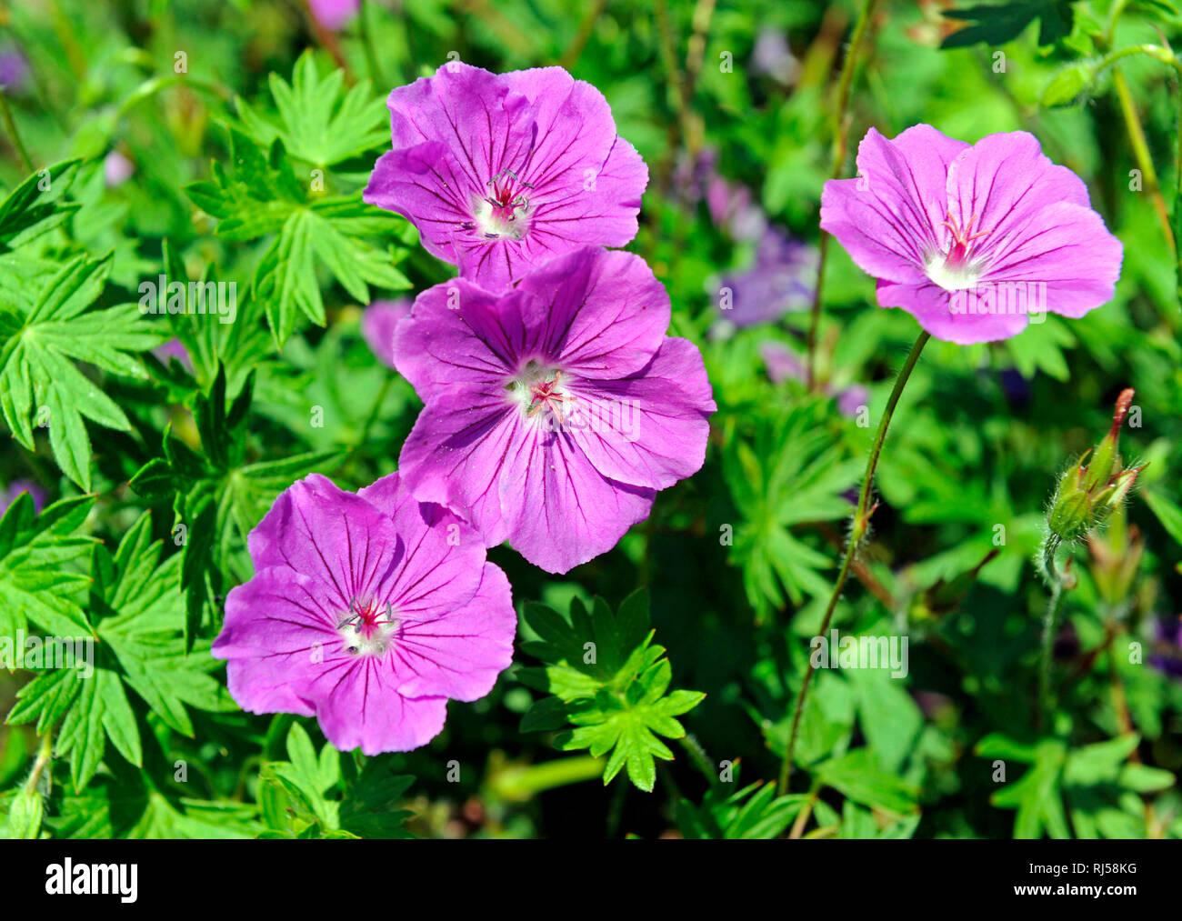 Bl?hendes Geranium, auch Blut-Storchschnabel, als Bodendecker im fr?hsommerlichen Blumengarten. - Stock Image