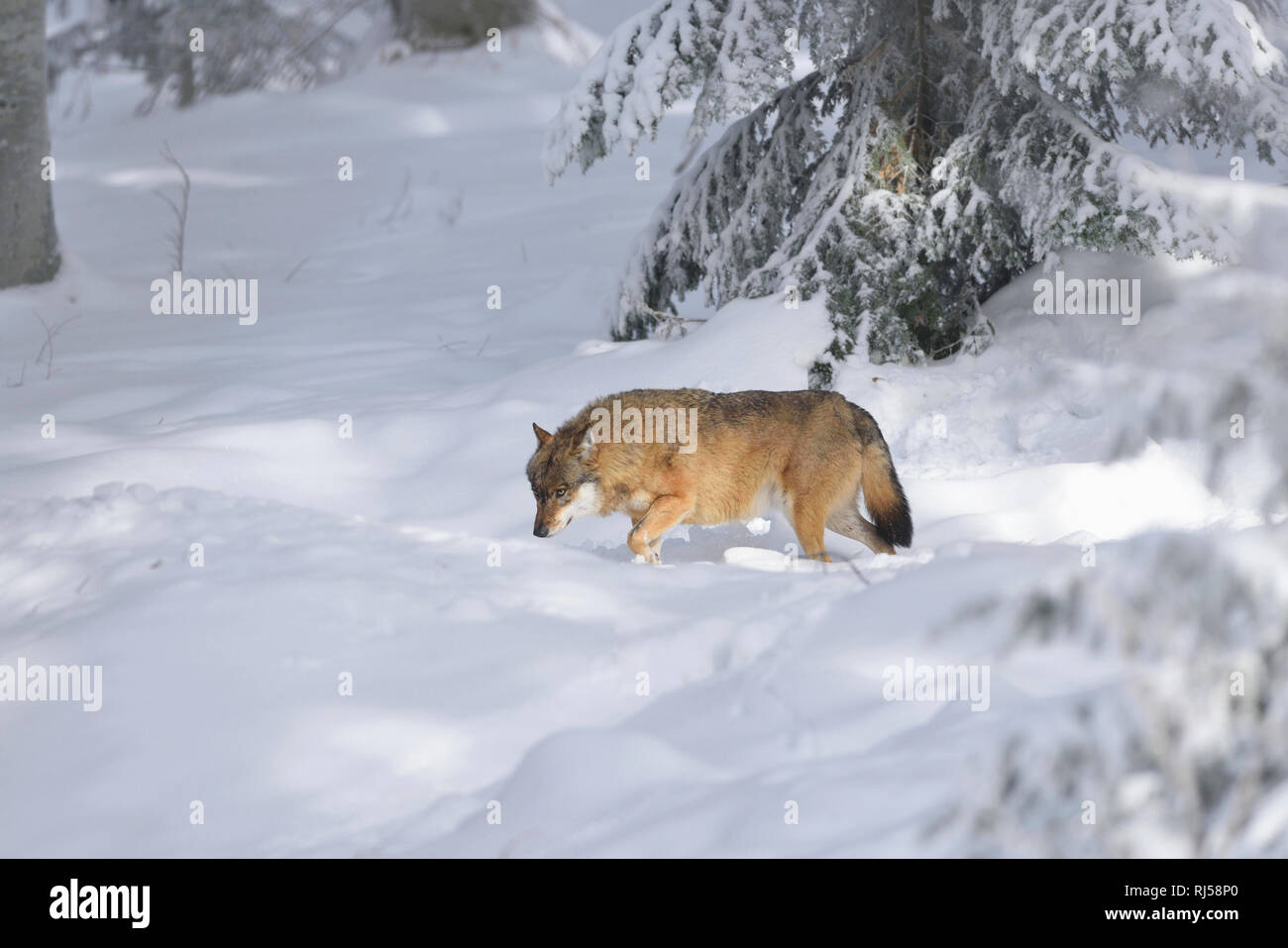 Wolf, Canis lupus, Winter, seitlich, laufen - Stock Image