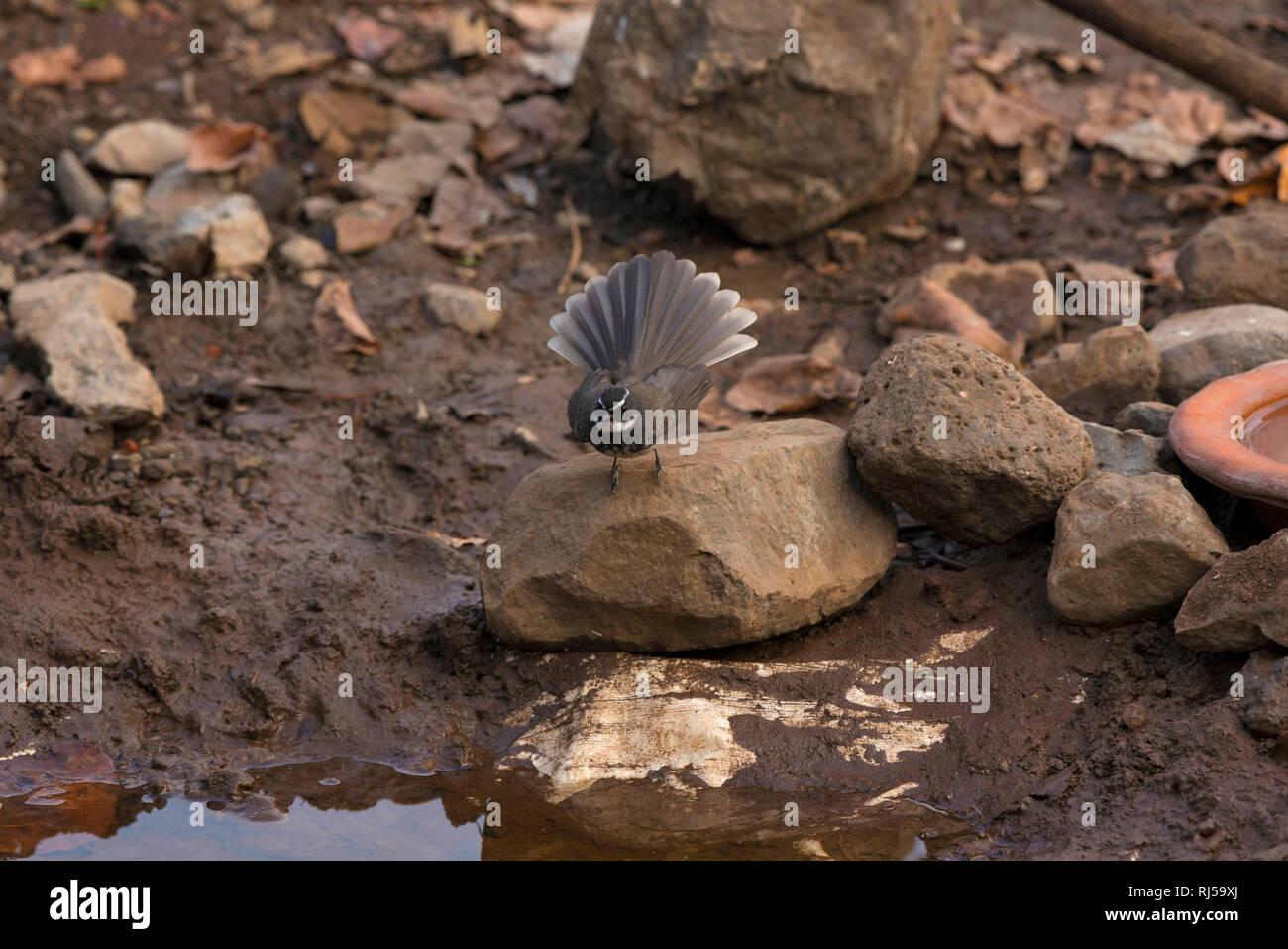 White-spotted fantail, Rhipidura albogularis, Sinhagad valley, Pune district, Maharashtra, India - Stock Image