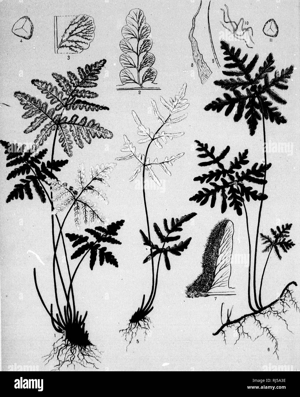 The ferns of North America [microform] : colored figures and