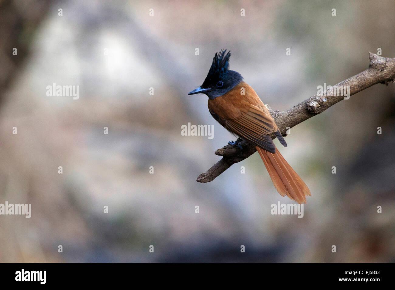 Indian paradise flycatcher, Terpsiphone paradisi, Sinhagad valley, Pune district, Maharashtra, India Stock Photo