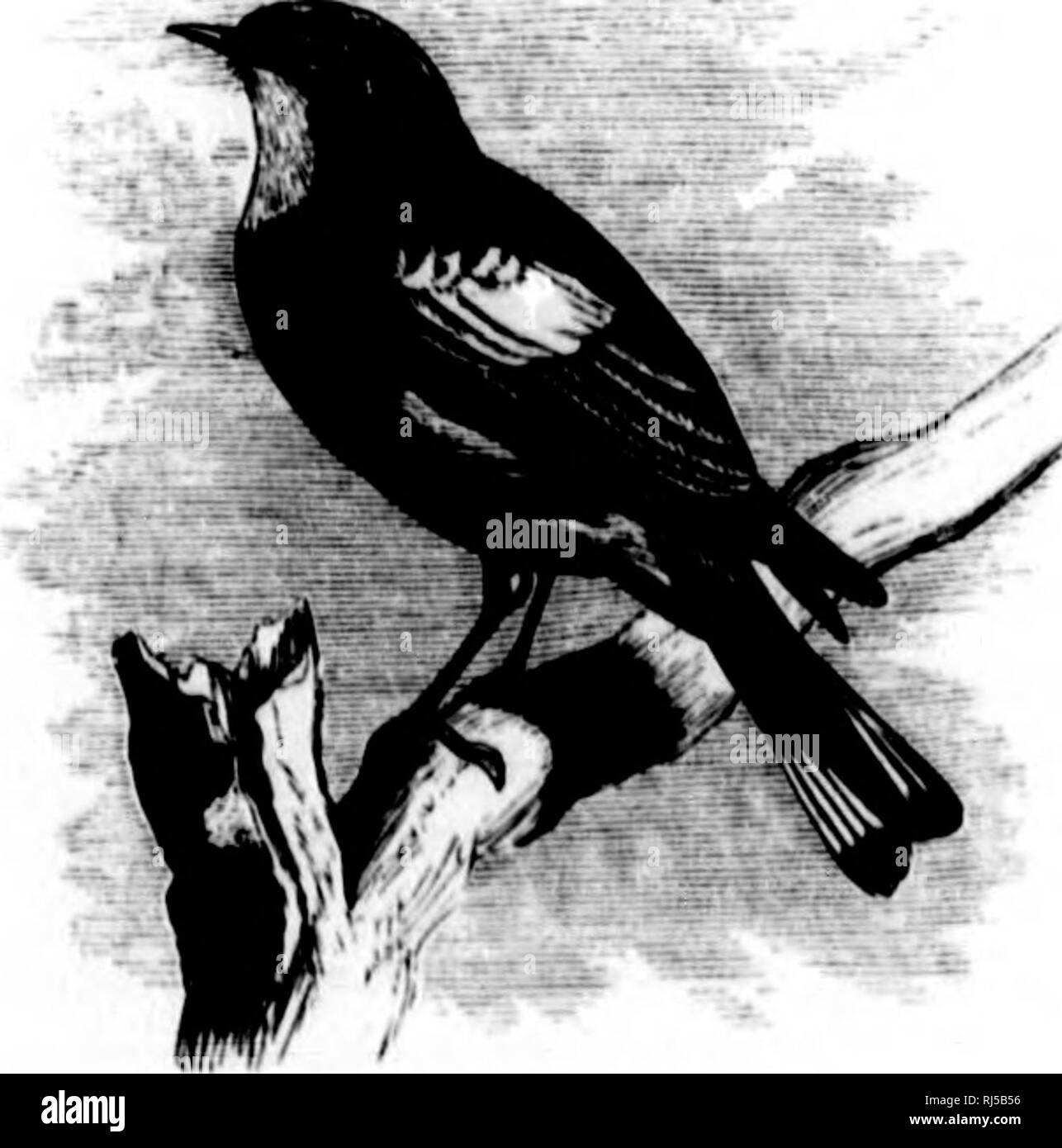 """. A history of North American birds [microform] : land birds. Birds; Ornithology; Oiseaux; Ornithologie. Dentlroica rornnala. Genus DENDROICA, Gray. Sj/hicri/n, OuAV, (Icnciii Birds, 2(1 eil. 1841, 32. (Xot of Iluiinilircys nor Swaiusou.) Dcnilriiicd, (iiiAY, (iciicia IJiiils, ApjH'iulix, 1842, 8. Ithiinam/ihufi, Hauti.auii, Hi'v. Zool. 184.""""), 342. (Not of l{aliiR'.siiiU"""", Am. Monthly Mng. 1818, and Jour, de l'liy.s. 1819.) Gen. Char. JJill conical, attoiiiuitcd, doprossod at the ba.se, where it is, however, scarcely lu'oader than hij^h, (.'onipressed from the mid- dle. Culincn .str - Stock Image"""