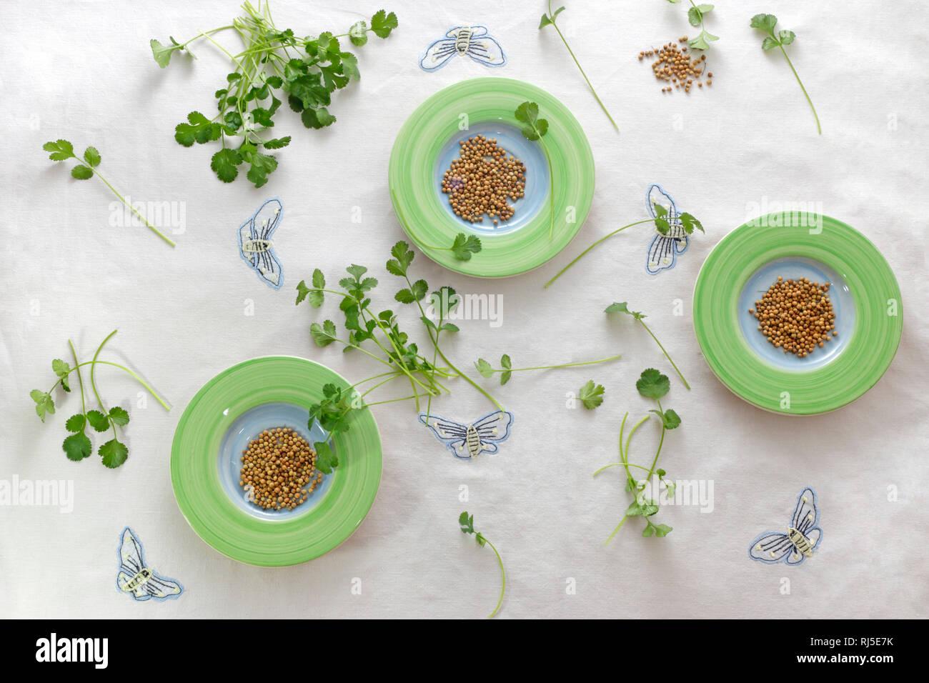 Koriandersamen und Blattkoriander - Stock Image