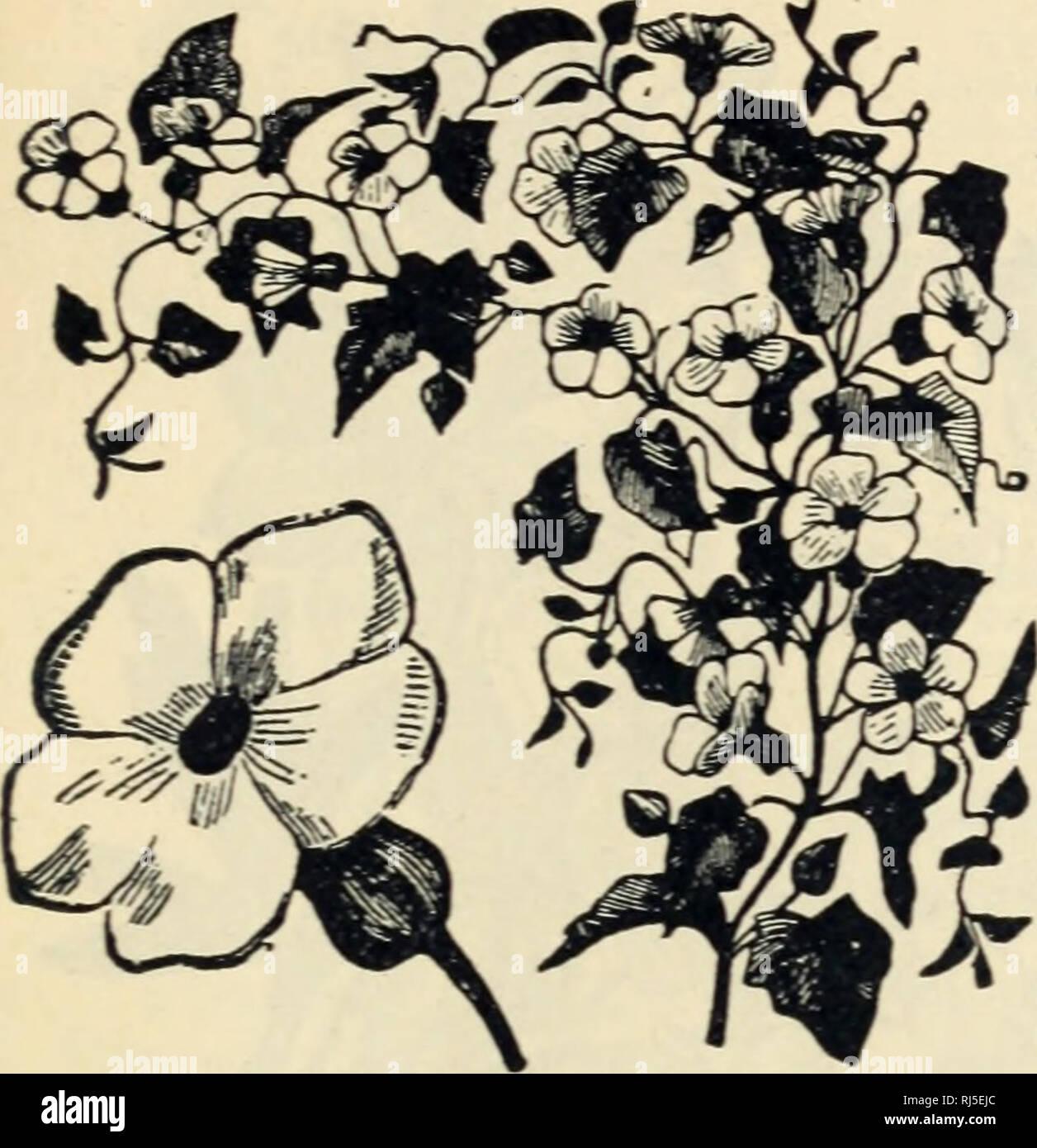 Fothergills Stock Virginian Stock Finest Mixed Flower Seeds Mr