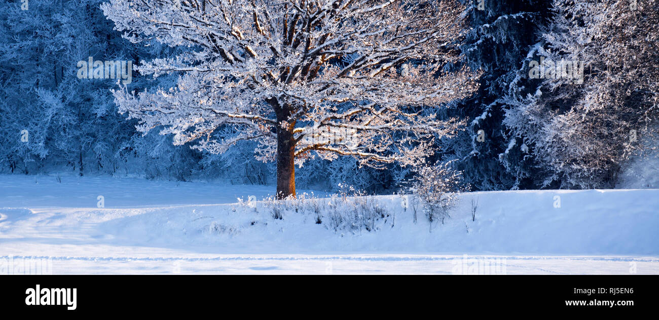 Winterbaum am Waldrand im Abendlicht - Stock Image