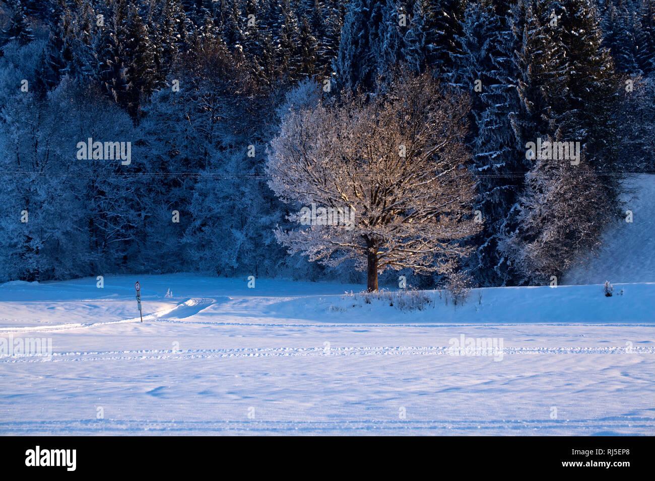 Winterbaum am Waldrand im Abendlicht Stock Photo