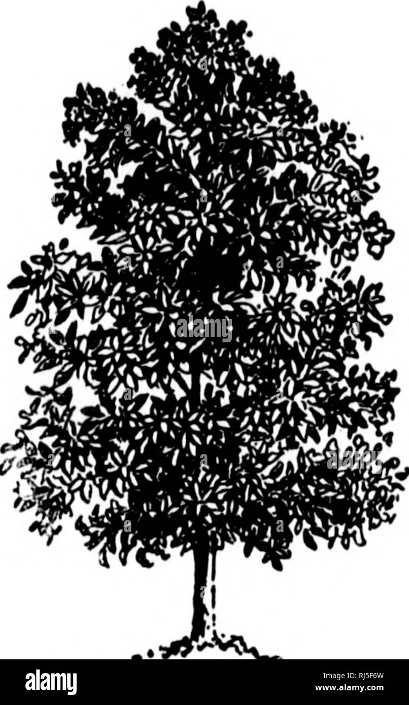 Southern Magnolia Tree Black And White Stock Photos Images Alamy