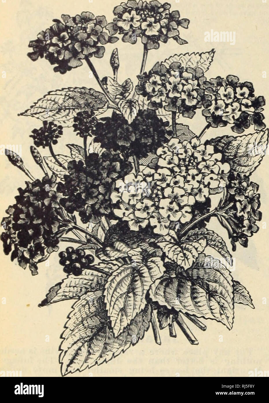 """. Choice flower seeds. Flowers Seeds Catalogs; Seeds Catalogs; Vegetables Seeds Catalogs. MISS EMMA V. WHITE, -32-. Lantana Hybrida. An ornamental plant bearing beautiful clusters of orange, white or pink blossoms. Suicable for the open bed in summer and always desirable for the window garden. Perennial, choice mixed. Pkt., 4c. Shreveport. La.. July, 1900.- -""""My Castor Oil plant from your seed is seven and a half feet tall, and the leaves measure two and two »nd a half feet across."""" Frank Grosjkan. Ice Plant. A dwarf trailing plant, with curious succulent, semi-trans- parent foliage. - Stock Image"""