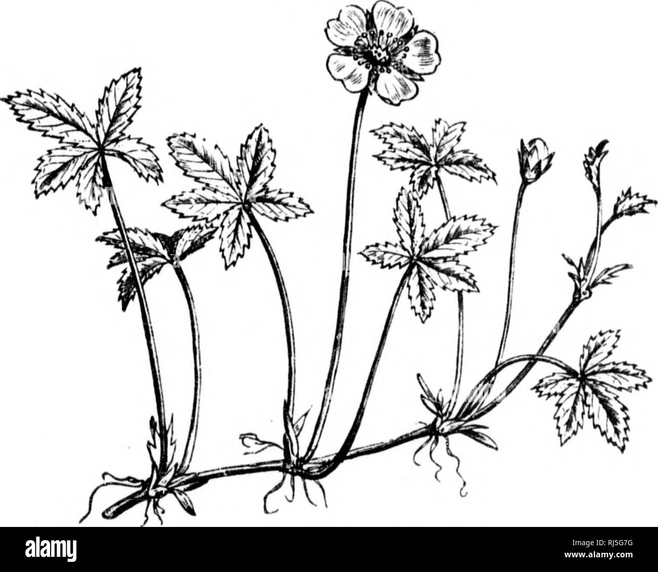 the mon black and white stock photos images page 8 alamy 97 Golf GTI flowers and their pedigrees microform flowers flowers fleurs fleurs