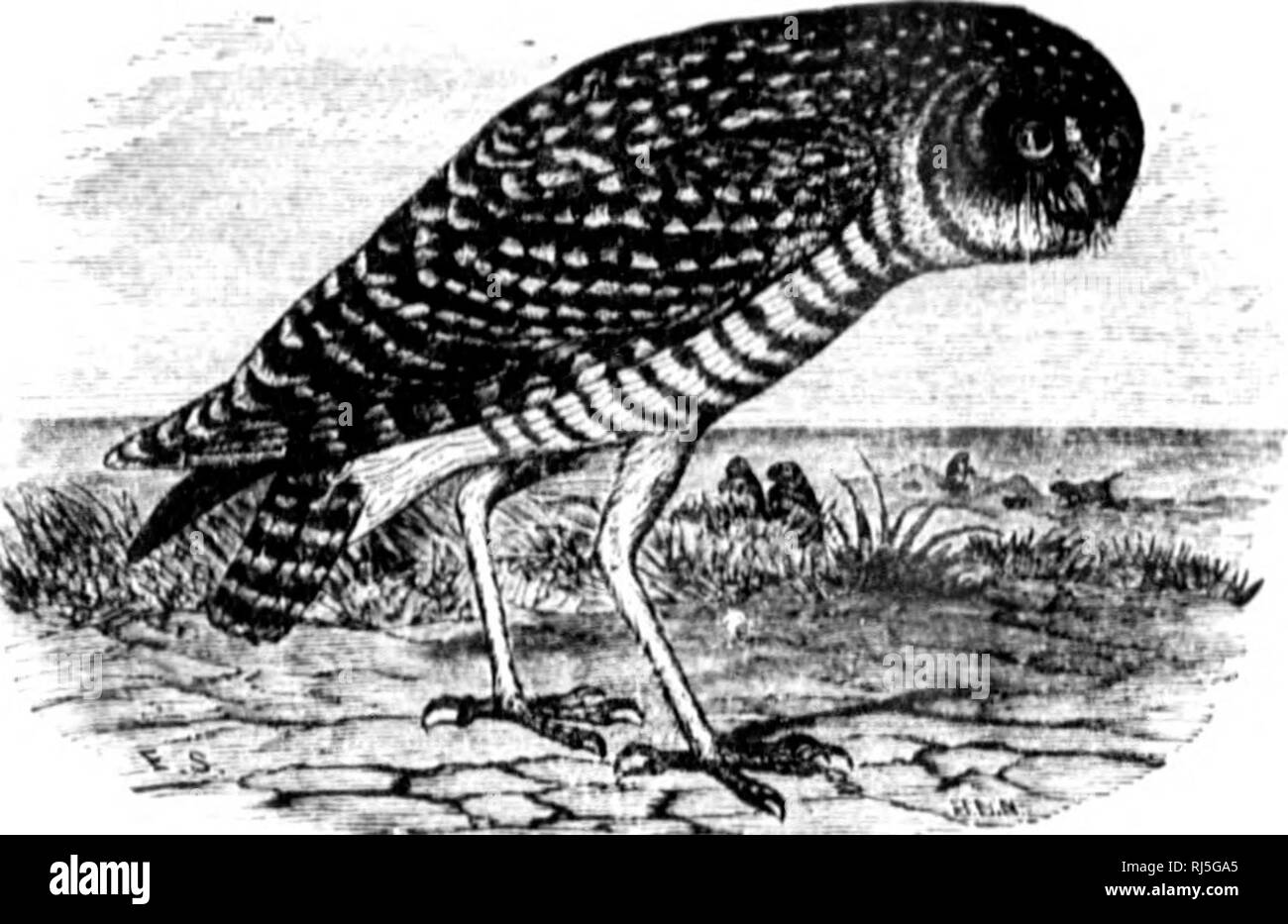 """. The birds of eastern North America known to occur east of the ninetieth meridian [microform]. Birds; Birds; Oiseaux; Oiseaux. vw^J^""""^' IImwU Owl.. â *'â '. Please note that these images are extracted from scanned page images that may have been digitally enhanced for readability - coloration and appearance of these illustrations may not perfectly resemble the original work.. Cory, Charles B. (Charles Barney), 1857-1921. Chicago : Field Columbian Museum - Stock Image"""